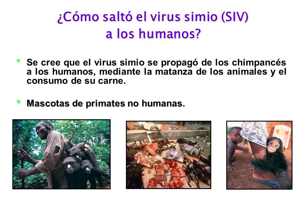 ¿Cómo saltó el virus simio (SIV) a los humanos