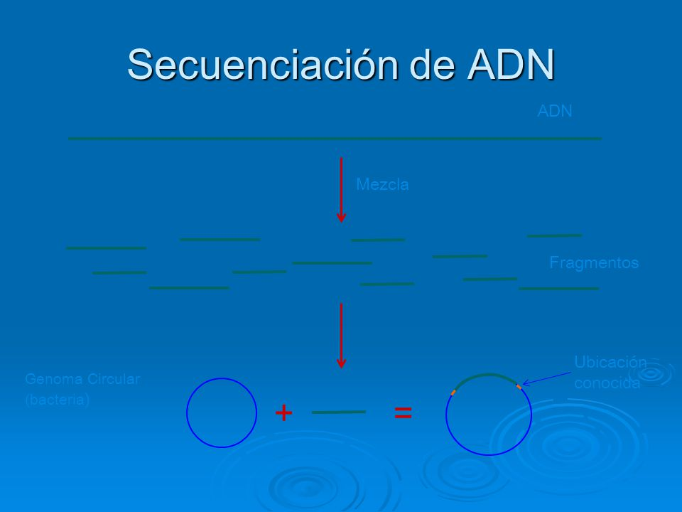 Secuenciación de ADN + = ADN Mezcla Fragmentos Ubicación conocida