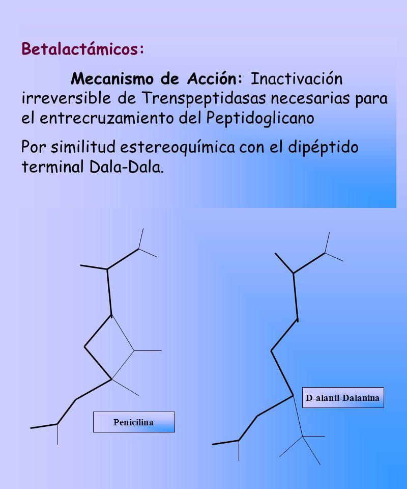 Por similitud estereoquímica con el dipéptido terminal Dala-Dala.