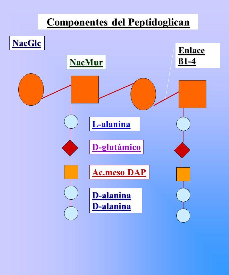 Componentes del Peptidoglican