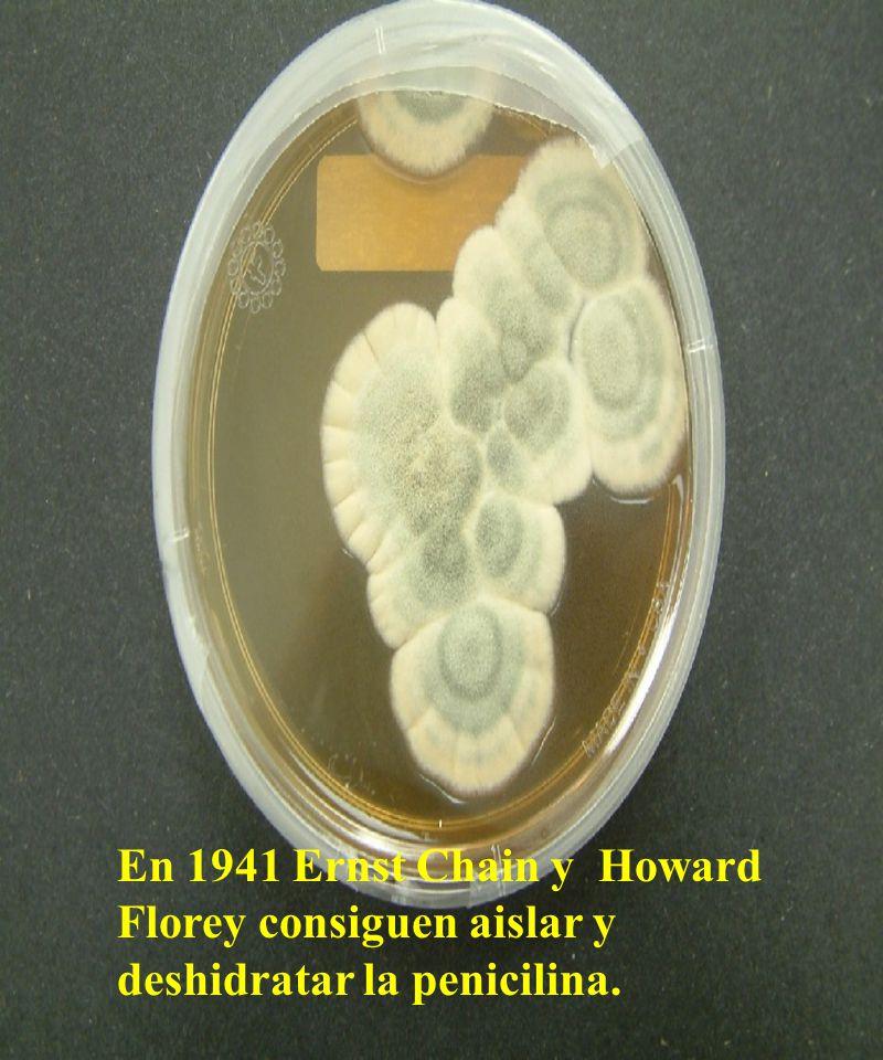 En 1941 Ernst Chain y Howard Florey consiguen aislar y deshidratar la penicilina.