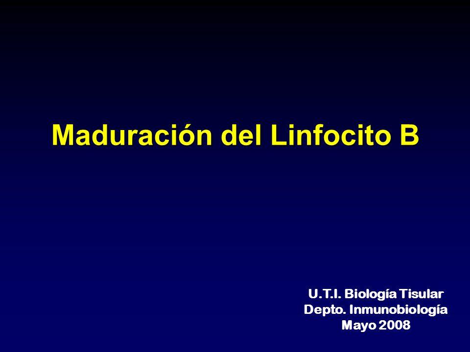 Maduración del Linfocito B