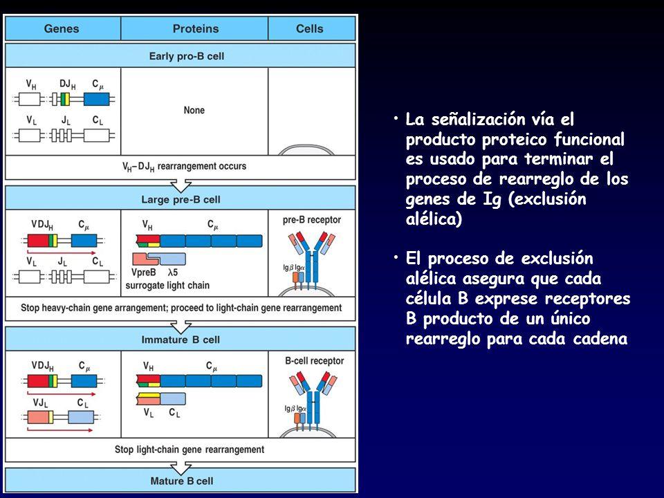 La señalización vía el producto proteico funcional es usado para terminar el proceso de rearreglo de los genes de Ig (exclusión alélica)