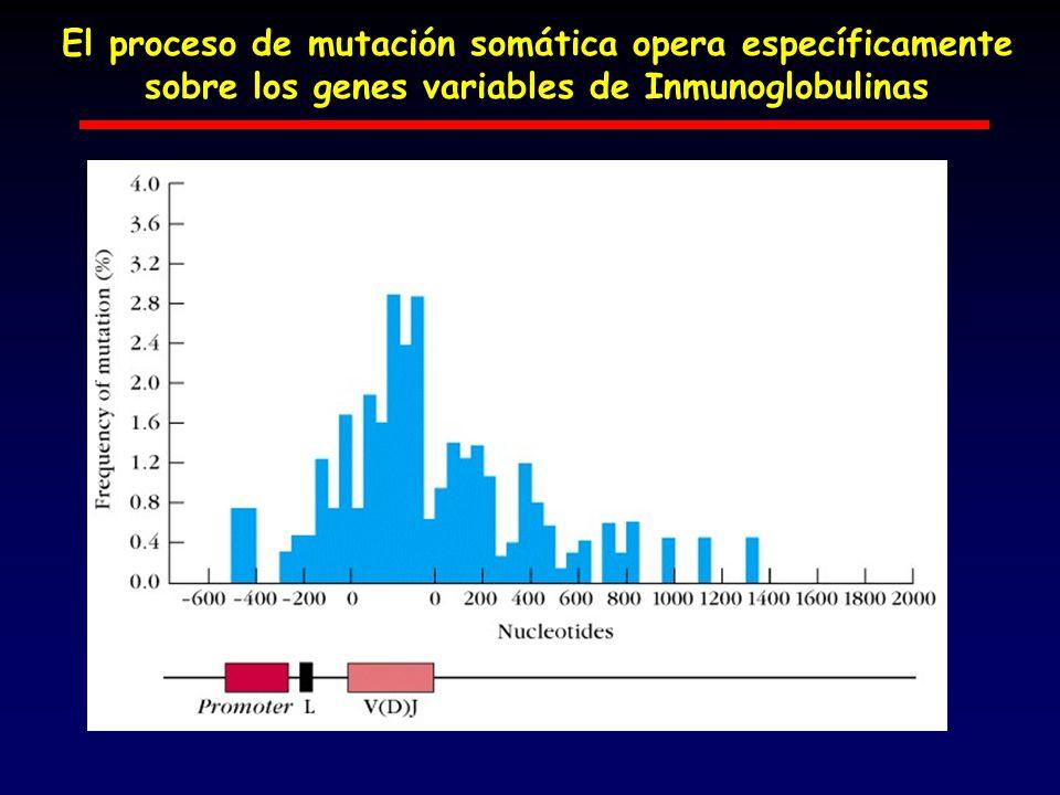 El proceso de mutación somática opera específicamente sobre los genes variables de Inmunoglobulinas