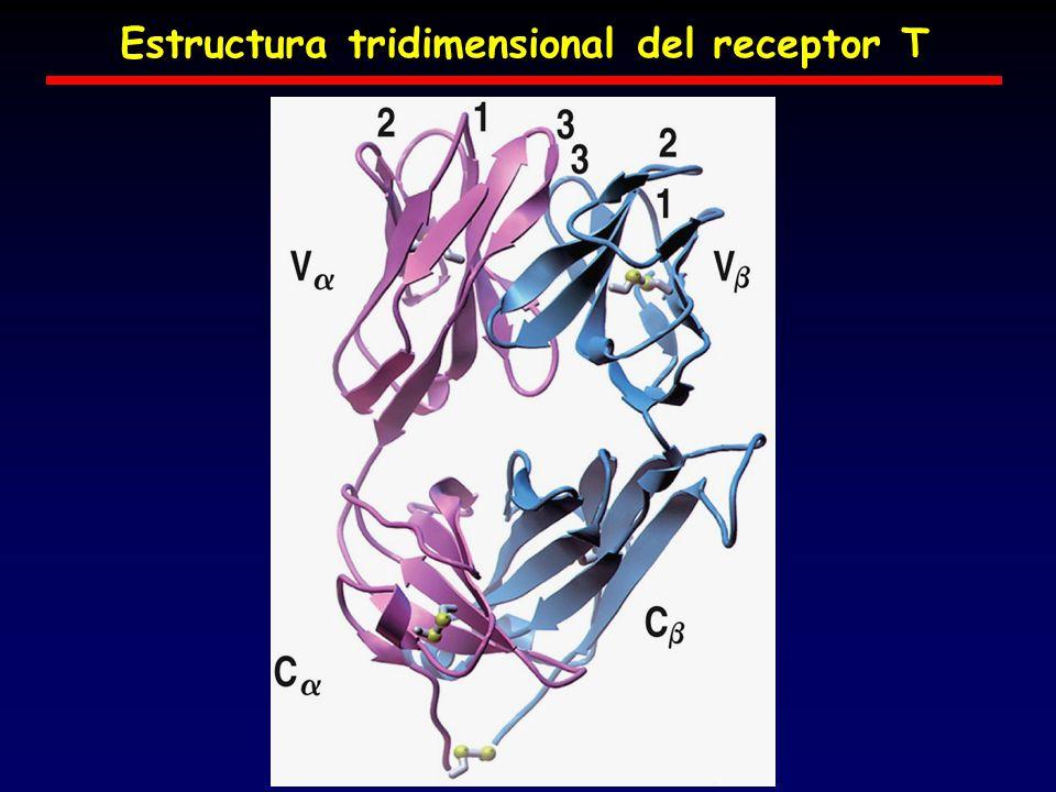 Estructura tridimensional del receptor T