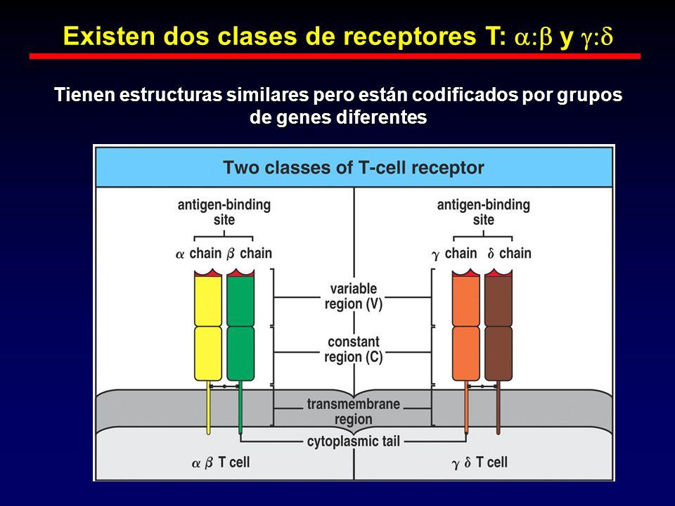 Existen dos clases de receptores T: a:b y g:d