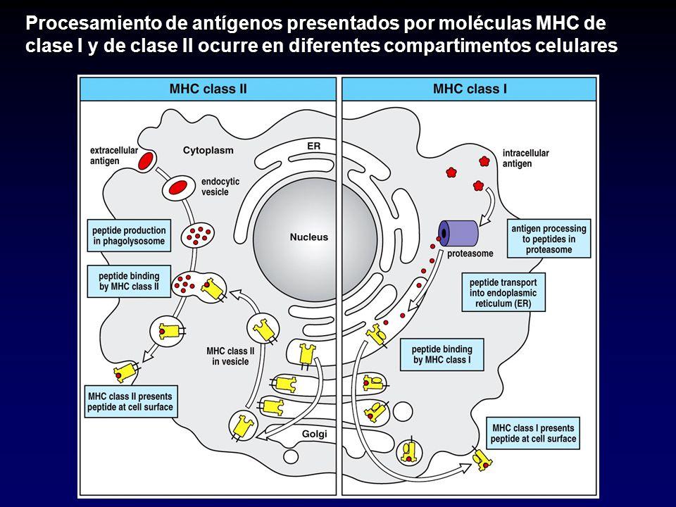 Procesamiento de antígenos presentados por moléculas MHC de clase I y de clase II ocurre en diferentes compartimentos celulares