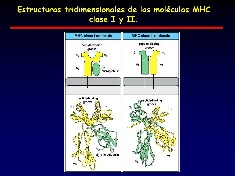 Estructuras tridimensionales de las moléculas MHC clase I y II.