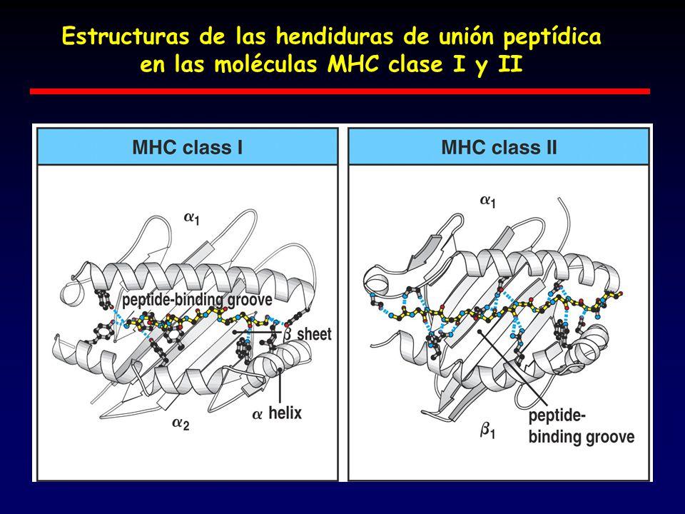 Estructuras de las hendiduras de unión peptídica en las moléculas MHC clase I y II