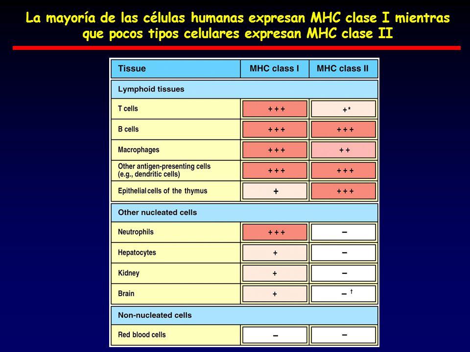 La mayoría de las células humanas expresan MHC clase I mientras que pocos tipos celulares expresan MHC clase II