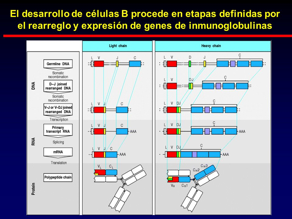 El desarrollo de células B procede en etapas definidas por el rearreglo y expresión de genes de inmunoglobulinas