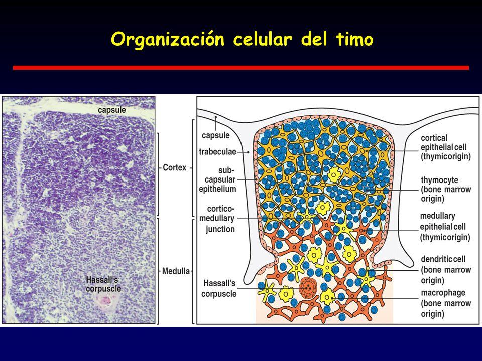 Organización celular del timo