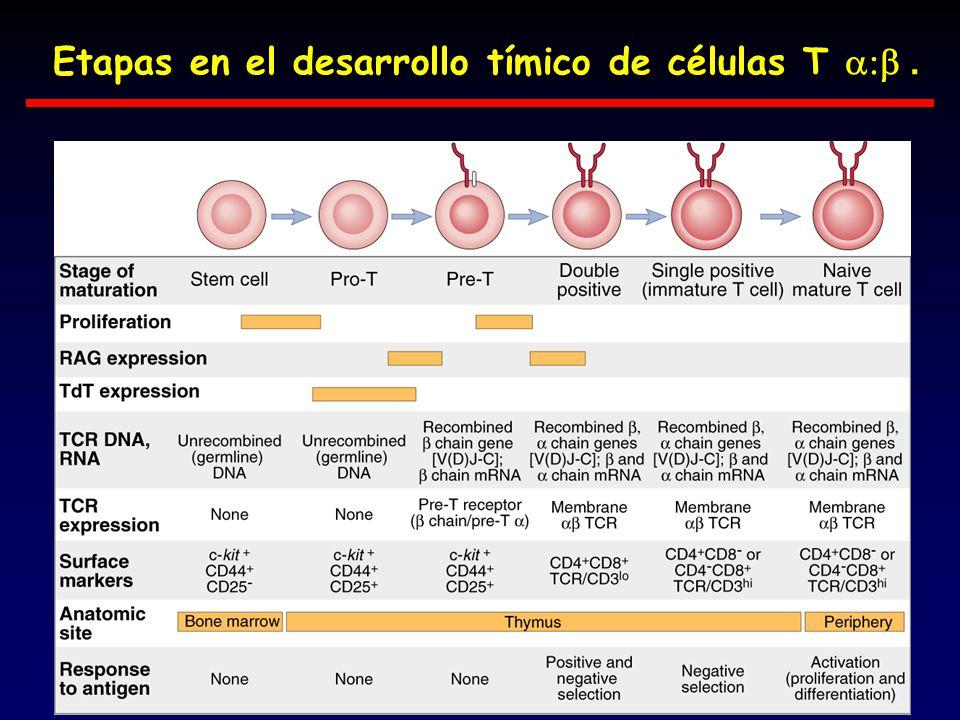 Etapas en el desarrollo tímico de células T a:b .