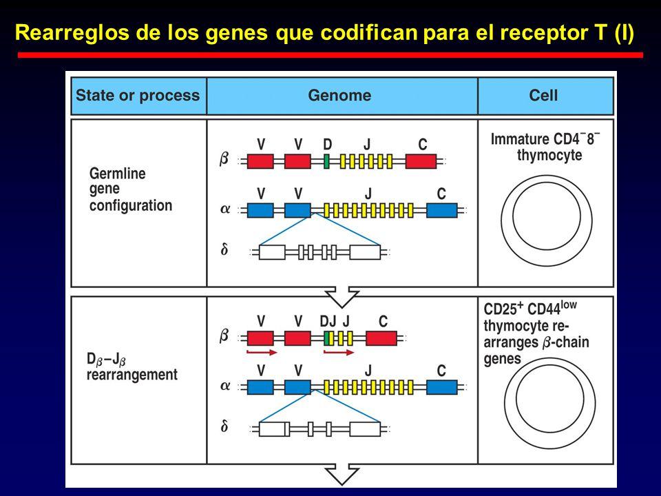 Rearreglos de los genes que codifican para el receptor T (I)