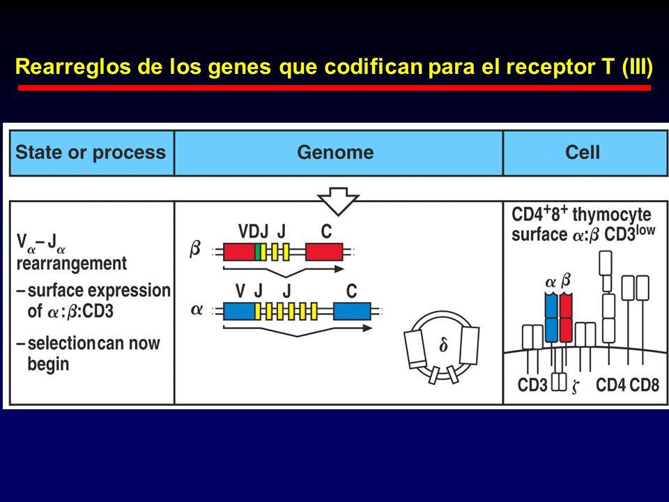 Rearreglos de los genes que codifican para el receptor T (III)