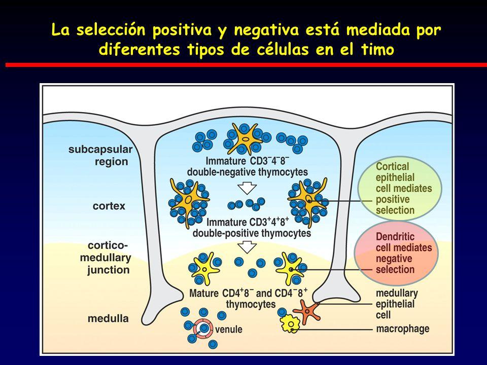 La selección positiva y negativa está mediada por diferentes tipos de células en el timo