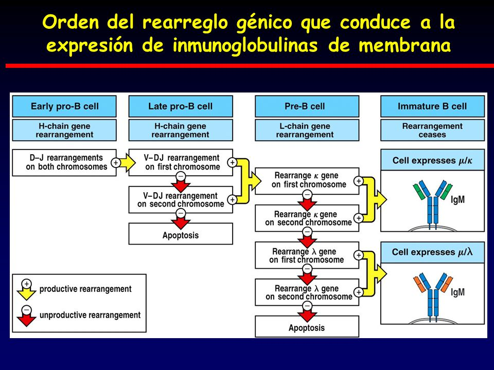 Orden del rearreglo génico que conduce a la expresión de inmunoglobulinas de membrana