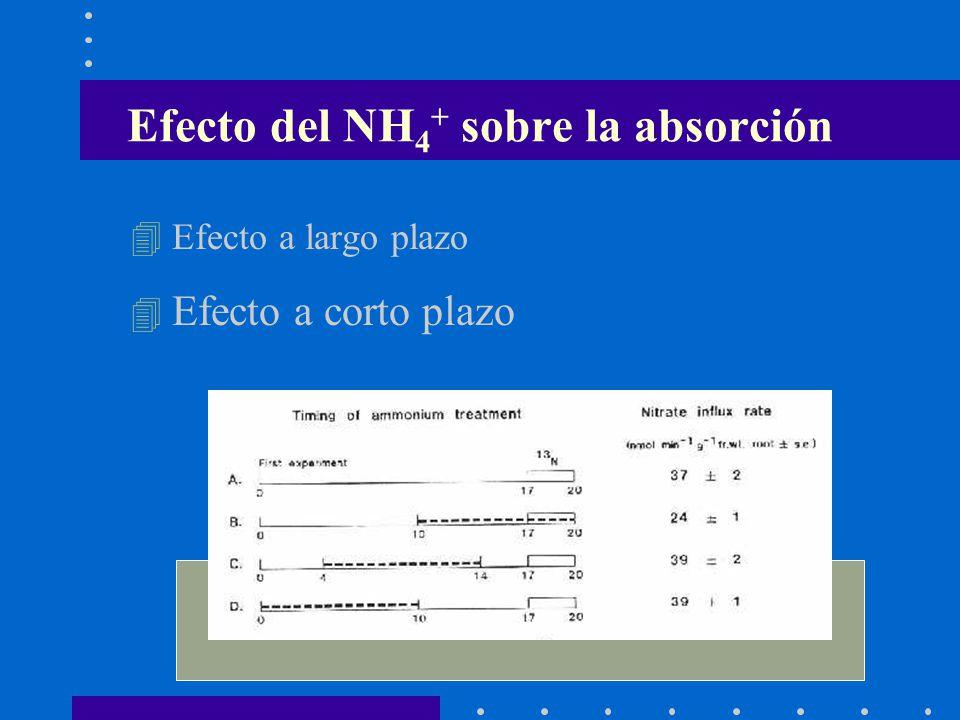 Efecto del NH4+ sobre la absorción