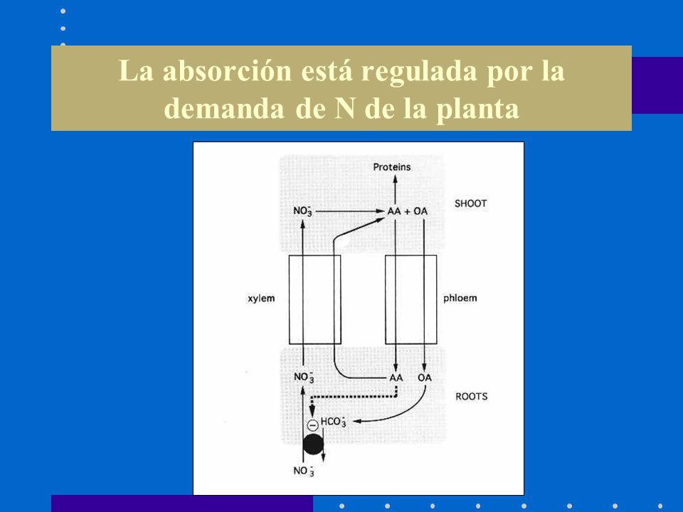 La absorción está regulada por la demanda de N de la planta