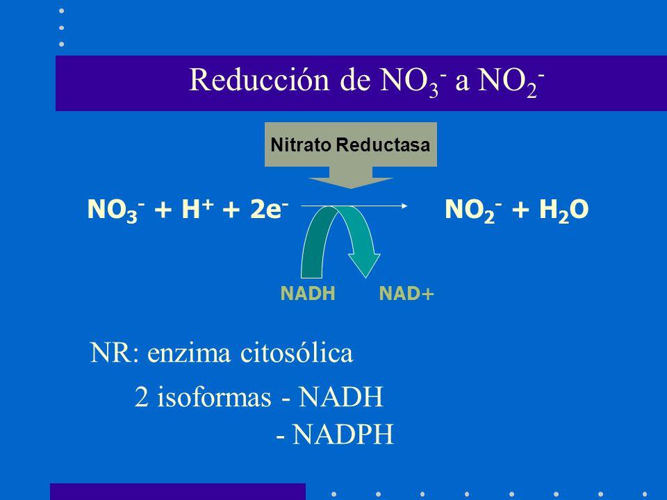 Reducción de NO3- a NO2- NR: enzima citosólica 2 isoformas - NADH