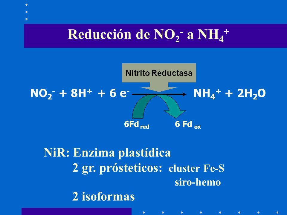 Reducción de NO2- a NH4+ NiR: Enzima plastídica