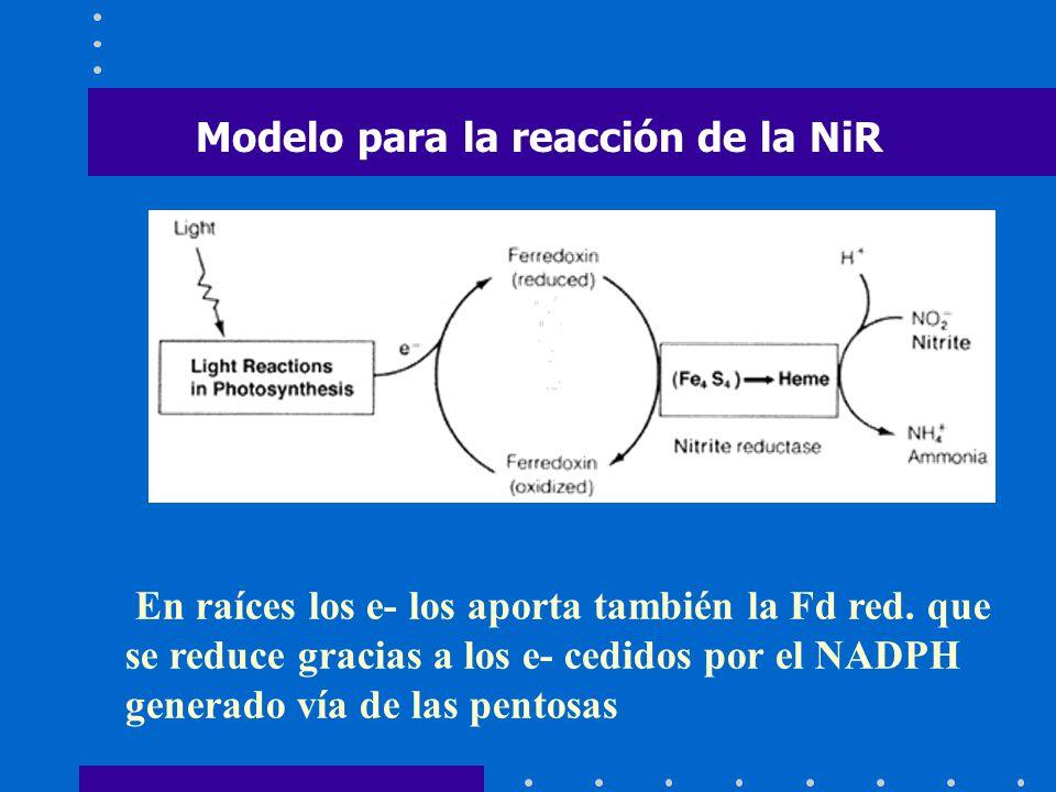 Modelo para la reacción de la NiR