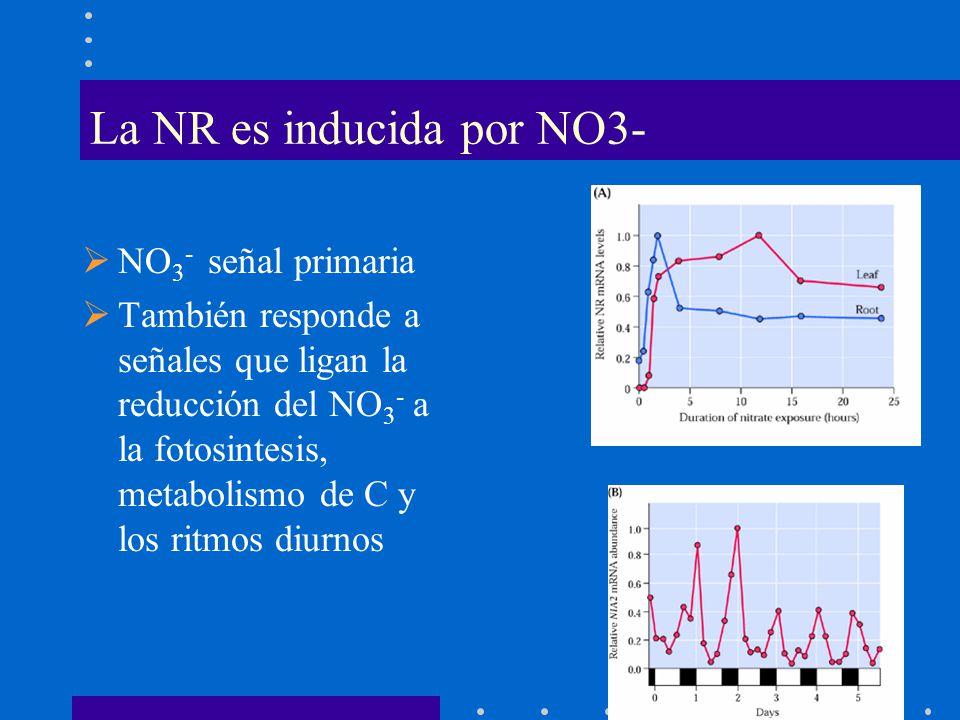 La NR es inducida por NO3-
