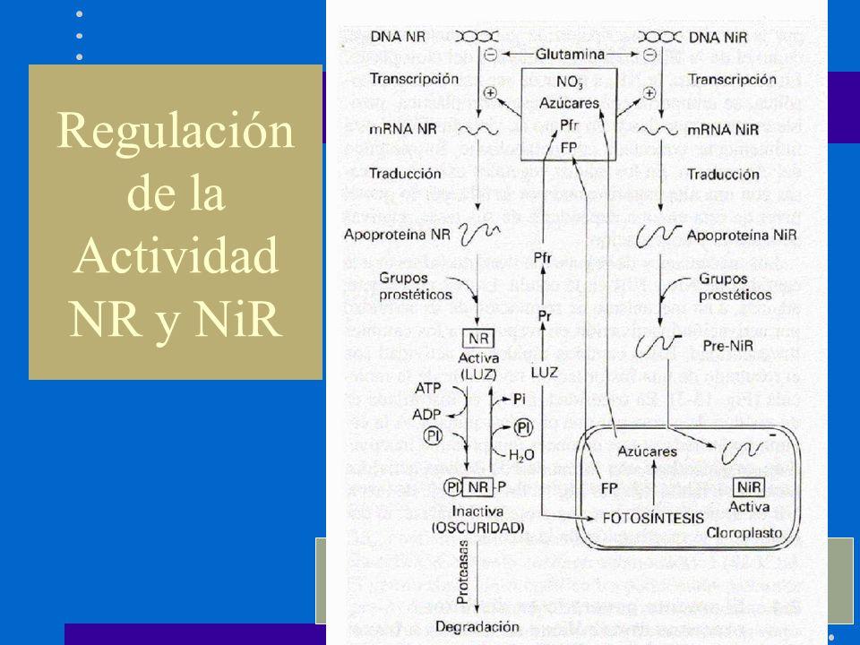 Regulación de la Actividad NR y NiR