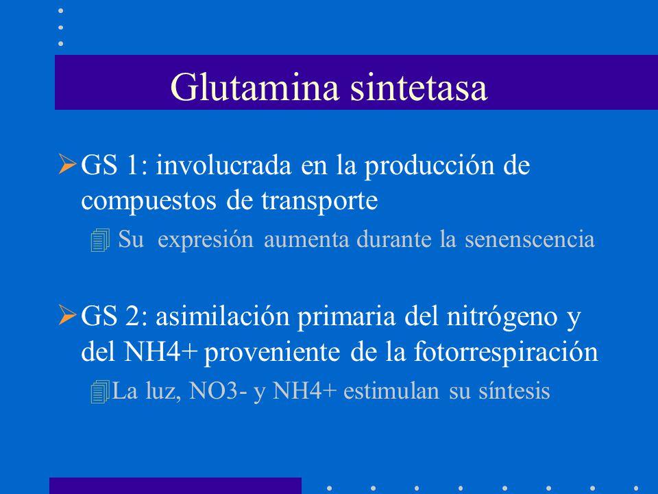 Glutamina sintetasa GS 1: involucrada en la producción de compuestos de transporte. Su expresión aumenta durante la senenscencia.