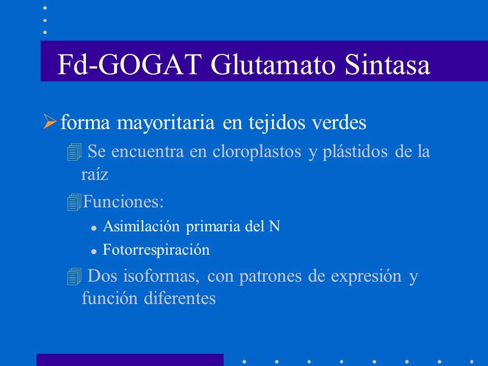 Fd-GOGAT Glutamato Sintasa