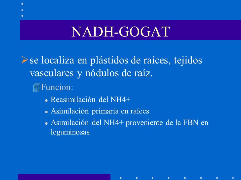 NADH-GOGAT se localiza en plástidos de raíces, tejidos vasculares y nódulos de raíz. Funcion: Reasimilación del NH4+