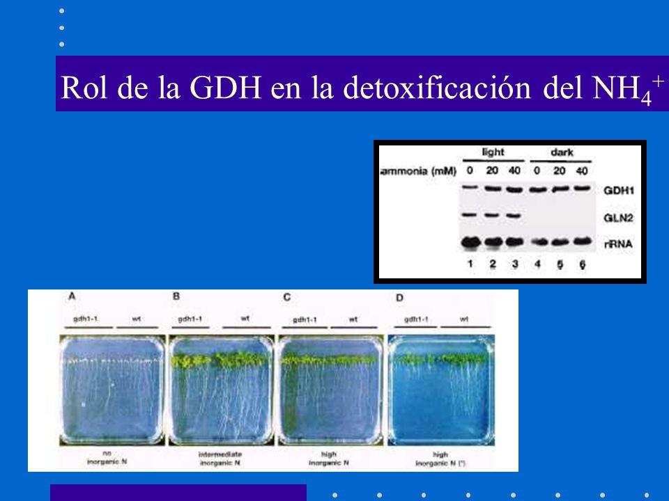 Rol de la GDH en la detoxificación del NH4+