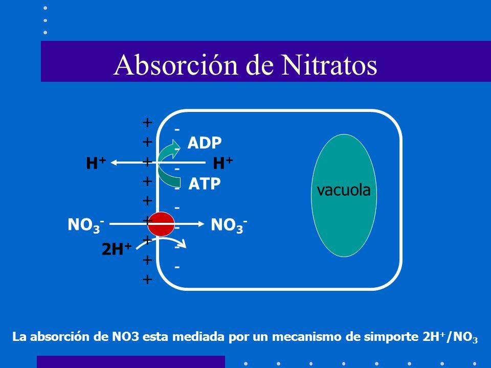 Absorción de Nitratos +++++++++ -------- ADP H+ ATP vacuola NO3- 2H+