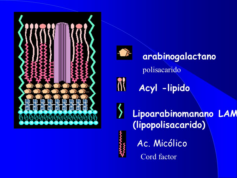 Lipoarabinomanano LAM (lipopolisacarido)