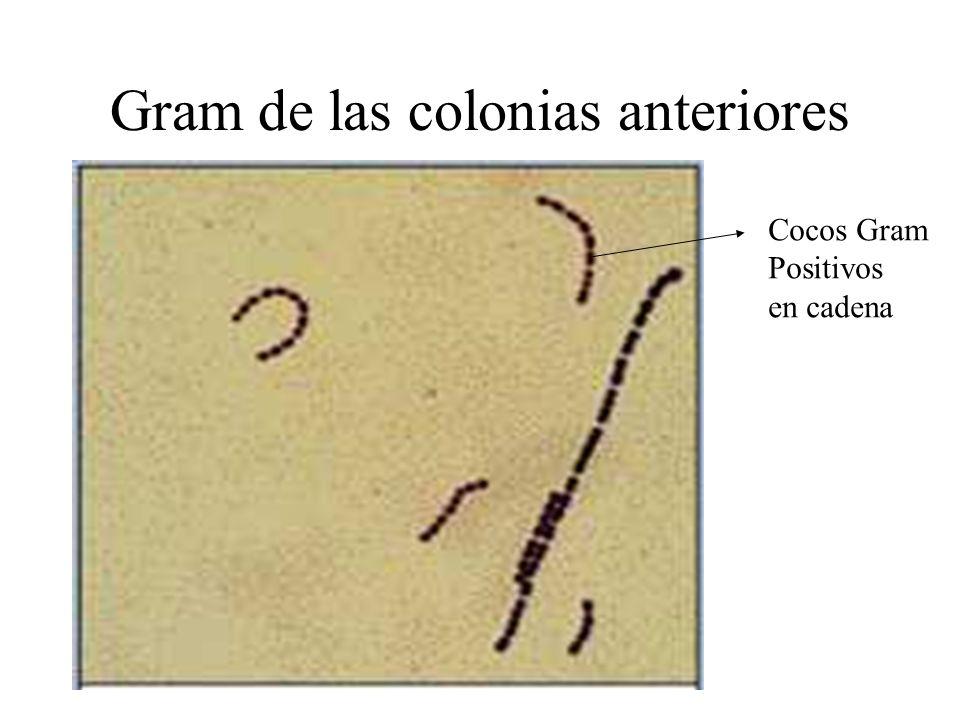 Gram de las colonias anteriores