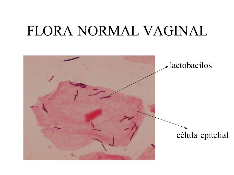 FLORA NORMAL VAGINAL lactobacilos célula epitelial