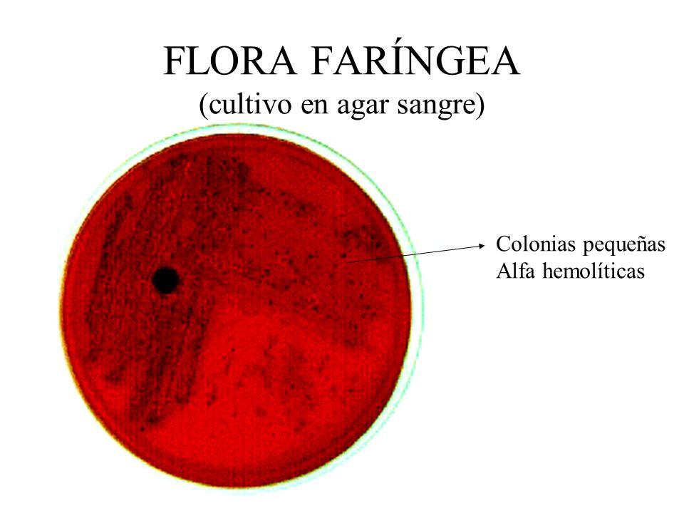 FLORA FARÍNGEA (cultivo en agar sangre)