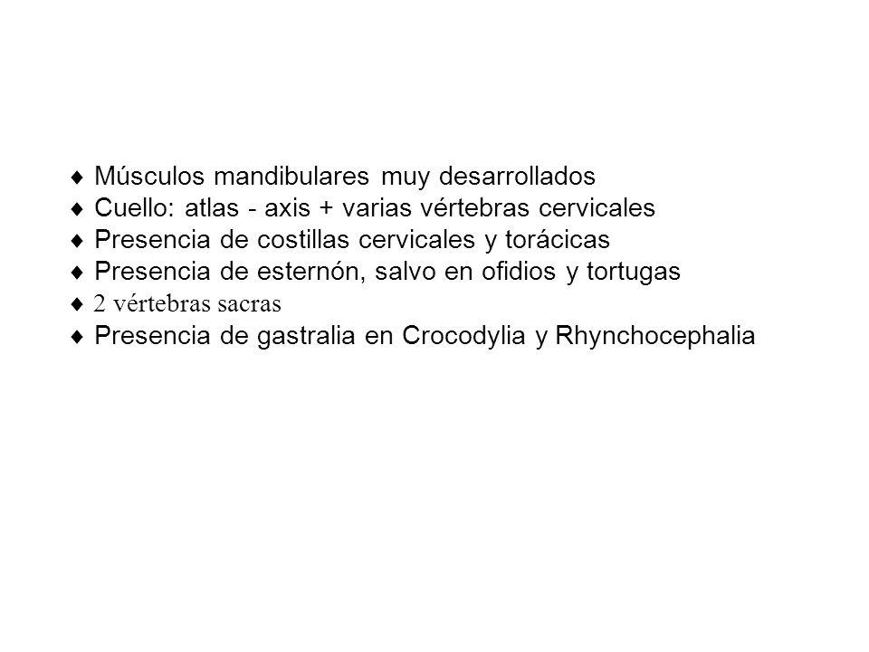 Músculos mandibulares muy desarrollados