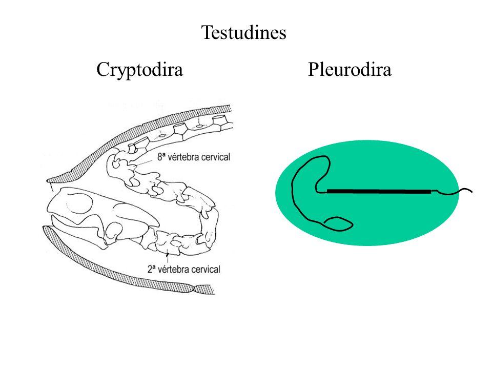 Cryptodira Pleurodira