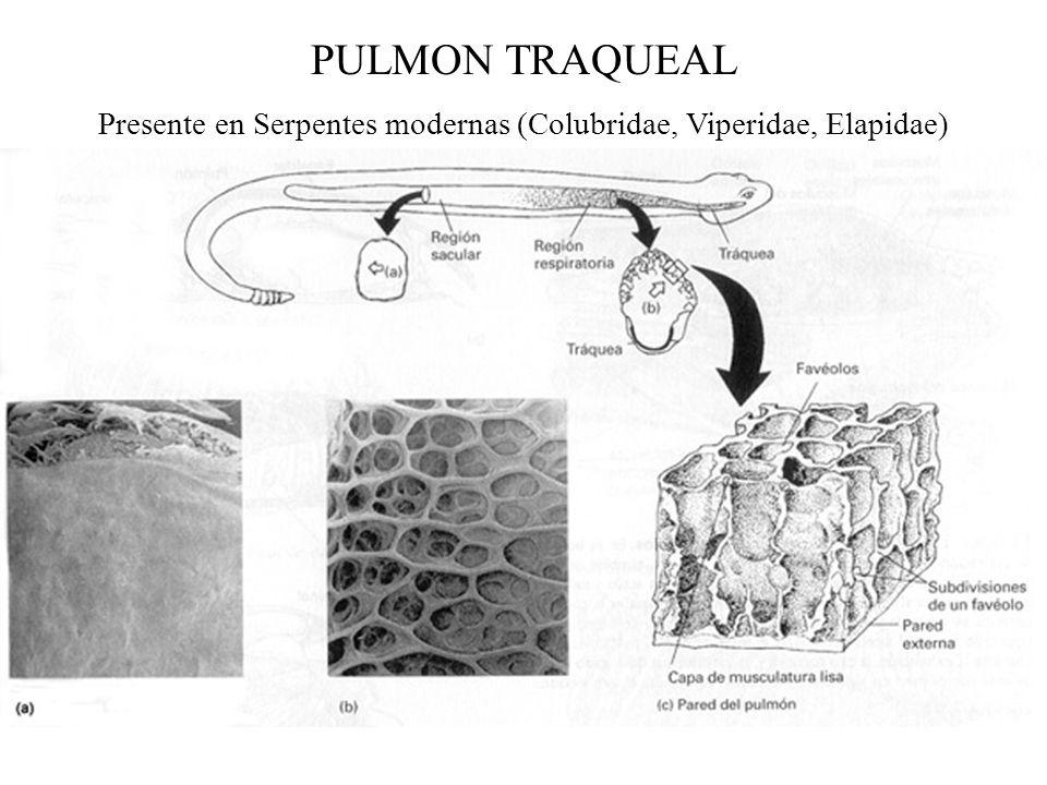 Presente en Serpentes modernas (Colubridae, Viperidae, Elapidae)