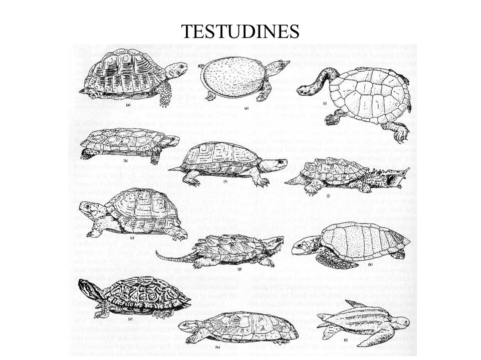 TESTUDINES