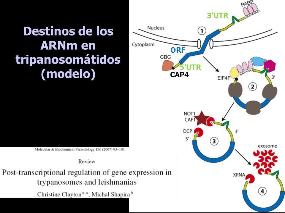 Destinos de los ARNm en tripanosomátidos