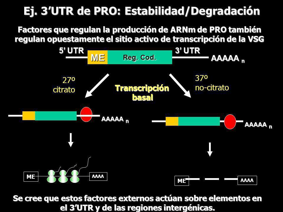 Ej. 3'UTR de PRO: Estabilidad/Degradación