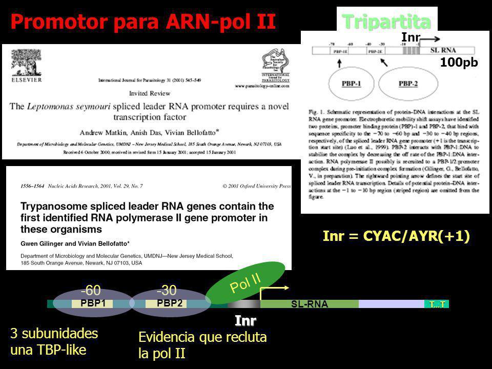 Promotor para ARN-pol II