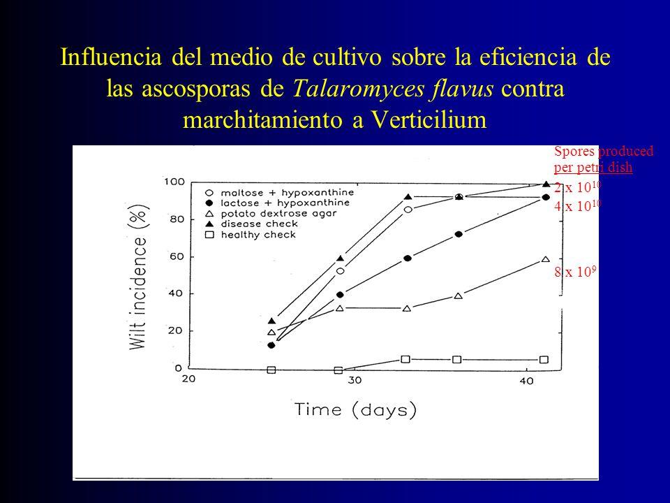 Influencia del medio de cultivo sobre la eficiencia de las ascosporas de Talaromyces flavus contra marchitamiento a Verticilium