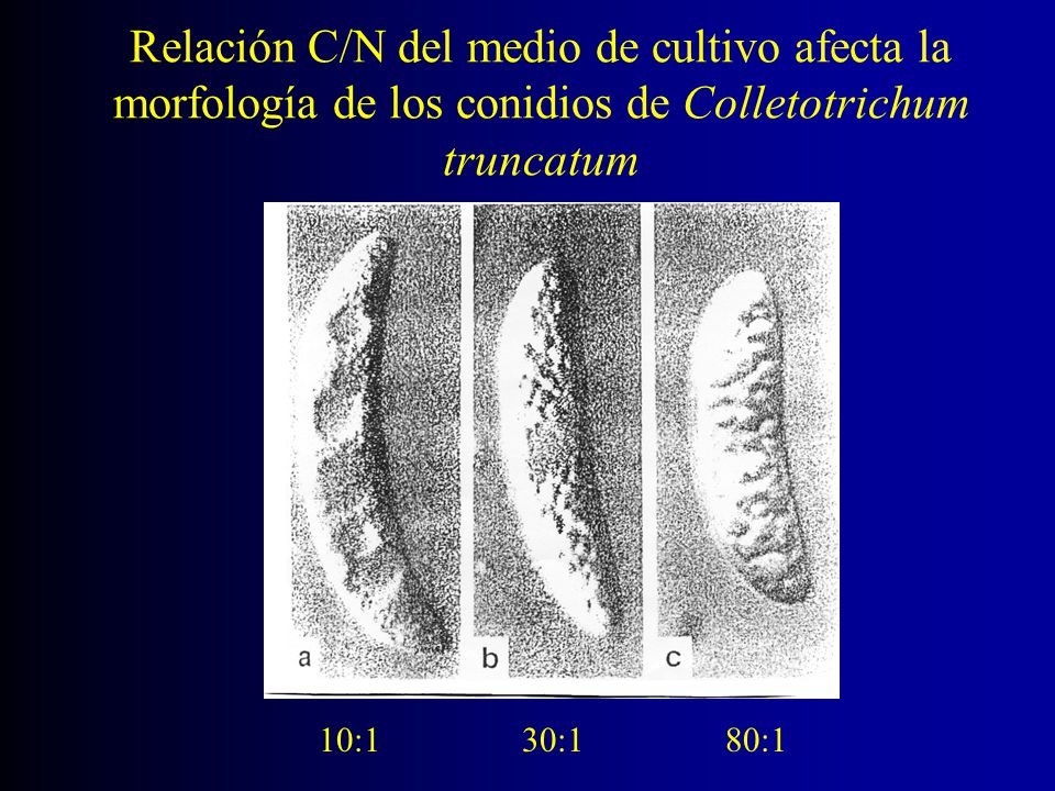 Relación C/N del medio de cultivo afecta la morfología de los conidios de Colletotrichum truncatum