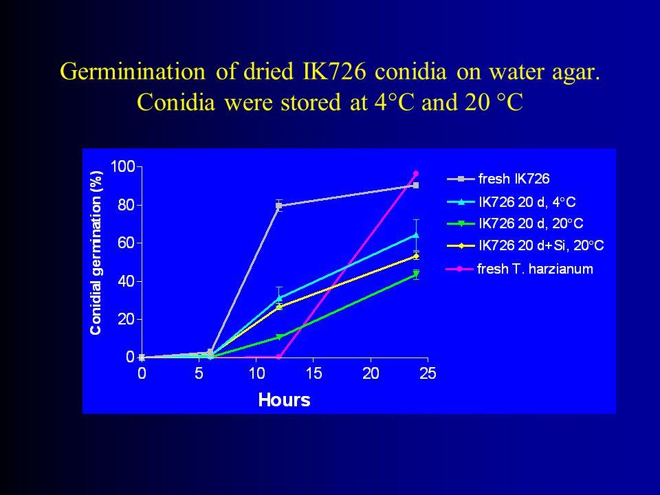 Germinination of dried IK726 conidia on water agar