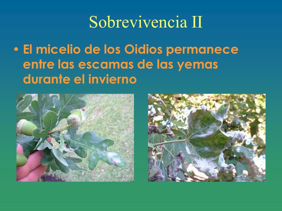 Sobrevivencia II El micelio de los Oidios permanece entre las escamas de las yemas durante el invierno.
