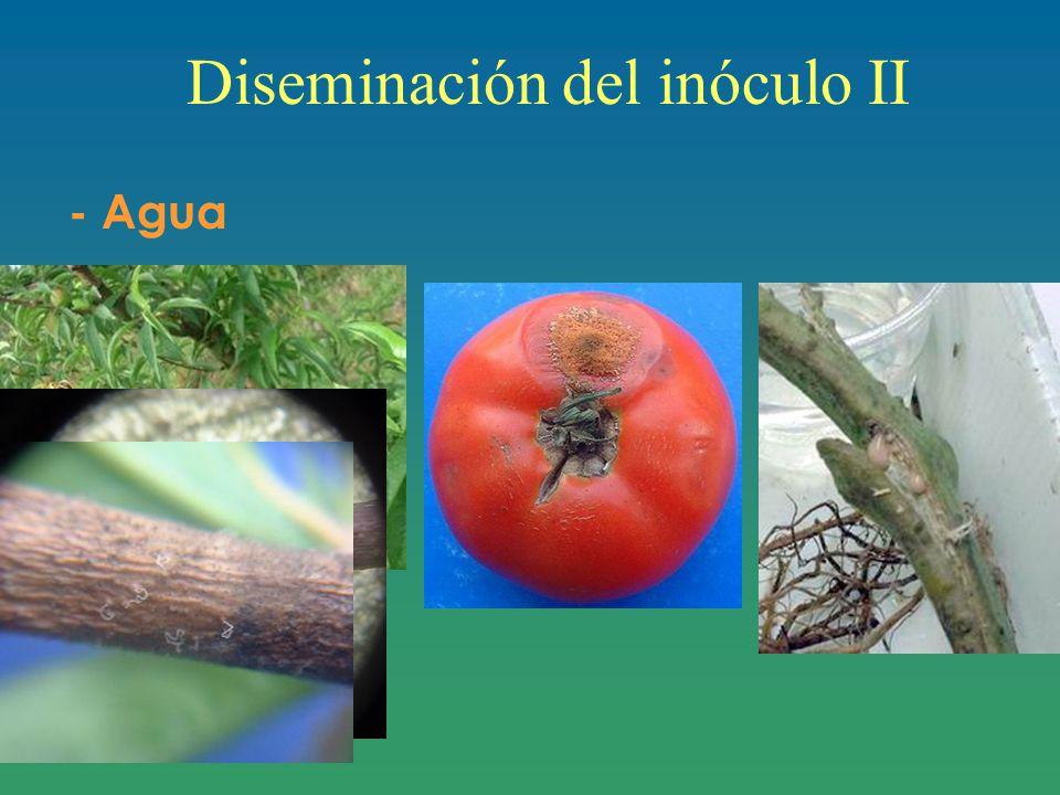 Diseminación del inóculo II