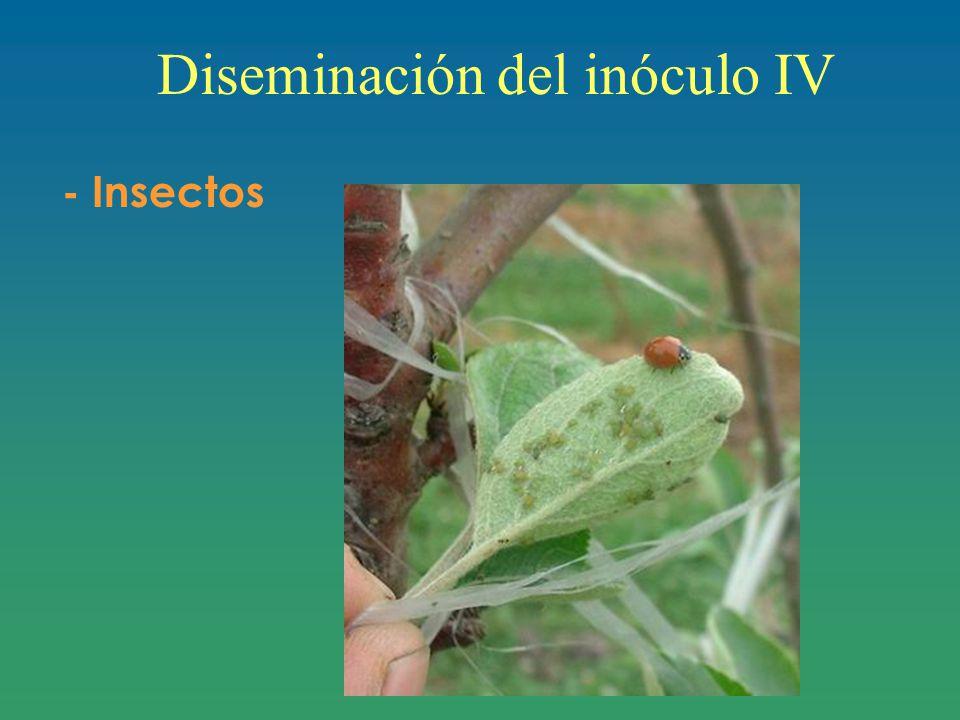 Diseminación del inóculo IV